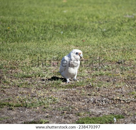 A comical  cheeky blue eyed  white Australian corella Licmetis  a subgenus of the white cockatoos (genus Cacatua)  eating   juicy grass in the park on a sunny summer afternoon. - stock photo