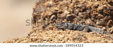 A common Chuckwalla Lizard suns itself on a rock in Red Rock Canyon State Park, Nevada. - stock photo