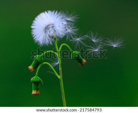 A common dandelion taraxacum officinale in the wind - stock photo