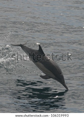 A common dolphin looks as though it is standing on its nose as it leaps off the coast of California - stock photo