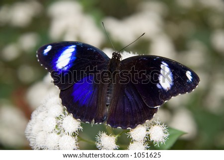 A Common Eggfly Butterfly (Hypolimnas bolina) feeding on white flowers - stock photo