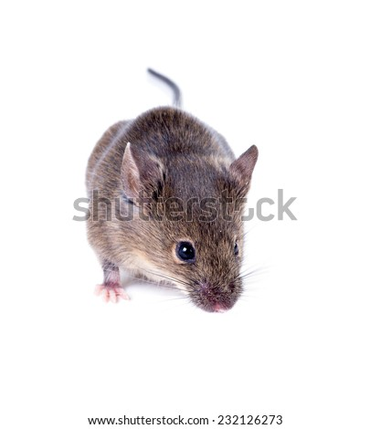 A Common house mouse (Mus musculus) sniffing on white background - stock photo