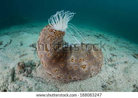 A common, large sea cucumber (Bohadschia argus) is easy to identify due to its distinctive pattern. This species can extrude sticky defensive threads called cuverian tubules. - stock photo