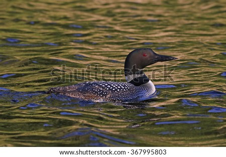 A Common Loon (Gavia immer) in evening light.  Shot in Algonquin Provincial Park, Ontario, Canada. - stock photo