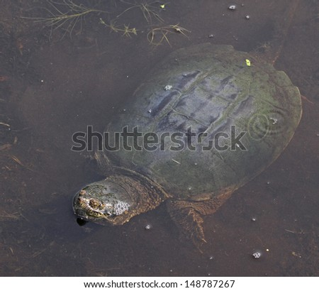 A Common Snapping Turtle (Chelydra serpentina) surfacing in a pond.  Shot in Cambridge, Ontario, Canada.  - stock photo