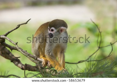 A common squirrel monkey playing in the trees - stock photo