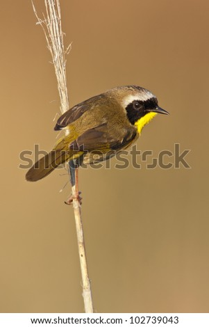 A Common Yellowthroat looking at the viewer from a perch. - stock photo
