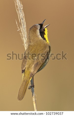A Common Yellowthroat singing from a perch. - stock photo