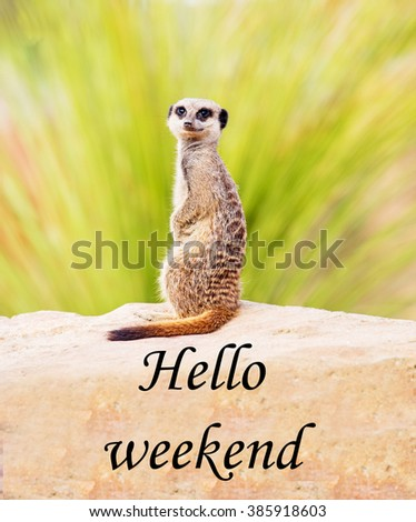 A concept picture of a meerkat, looking at the camera, apparently saying 'Hello weekend' - stock photo