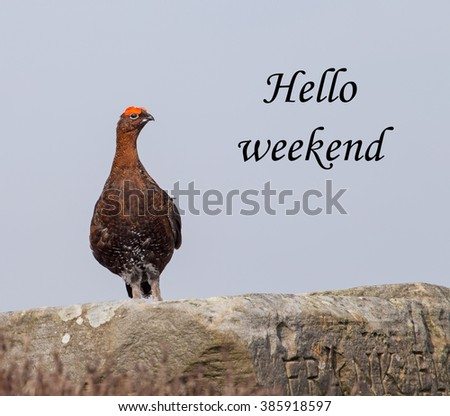 A concept pictures of a red grouse perched on a rock, apparently saying 'Hello weekend' - stock photo