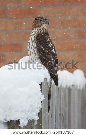 A Cooper's Hawk braves the recent blizzard. While perched on a fence post that is covered in snow, the raptor turns its head 180 degrees away from the blowing snow. - stock photo