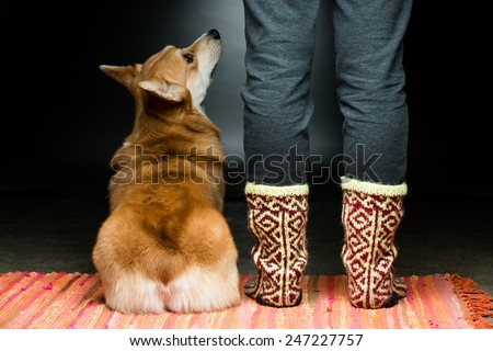A corgi dog sitting at its owner's feet - stock photo