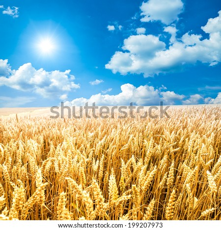 A corn field with blue sky, clouds and sun - stock photo