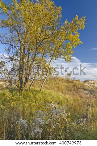 A Cottonwood glows yellow and gold in autumn and matches the surrounding grass covered low dunes of the West Beach unit of Indiana Dunes National Lakeshore in Porter County, Indiana - stock photo