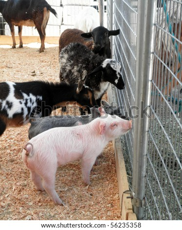 a couple of baby pot bellied pigs, goats and sheep ask horses for advice through a fence at a petting zoo at a county fair - stock photo
