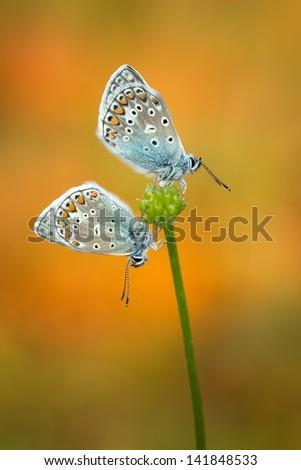 A couple of Common Blue (Polyommatus Icarus) - stock photo
