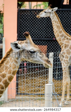 A Couple of Giraffe - stock photo