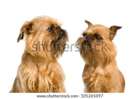 A couple of Griffon Bruxellois dogs, isolated on white background - stock photo