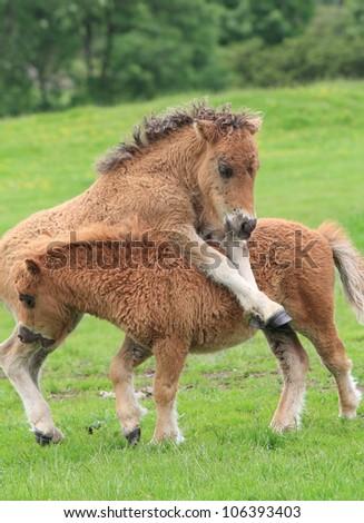 A couple of playful Shetland Ponies / pony - stock photo