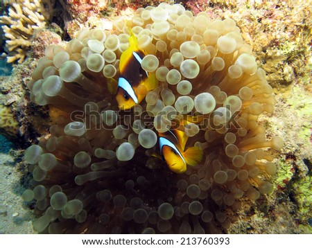 A couple of Red sea anemonefish inside anemone - stock photo
