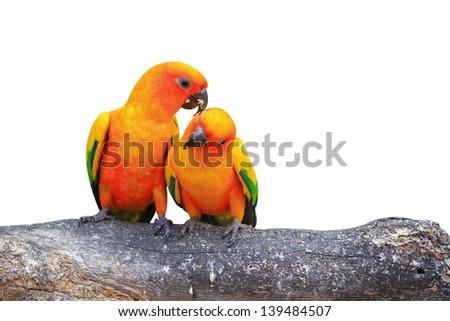 A Couple of Sun Conure- Parrots - stock photo