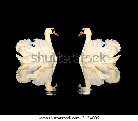 A couple of swans isolated on black background - stock photo
