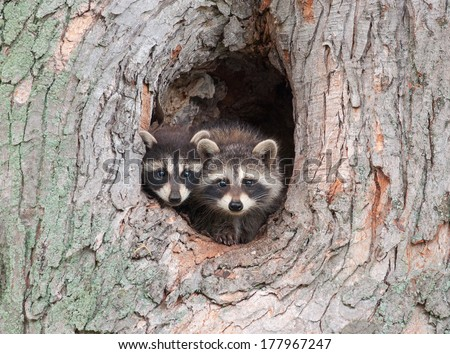 A couple of young Raccoons poke their heads out of a hole in a tree, nervous about an approaching storm. - stock photo