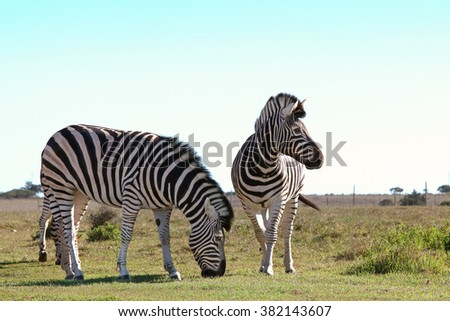 A couple of zebras grazing together in a reserve - stock photo