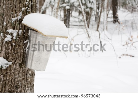 A covered sap bucket on a maple tree ready to collect up running sap through tap. - stock photo