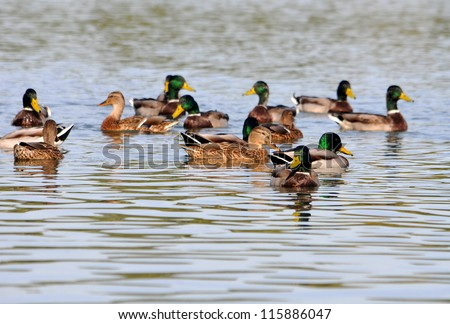 A covey of wild duck is in the river - stock photo