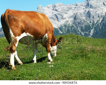 A cow be grazing in the Austria alps - stock photo