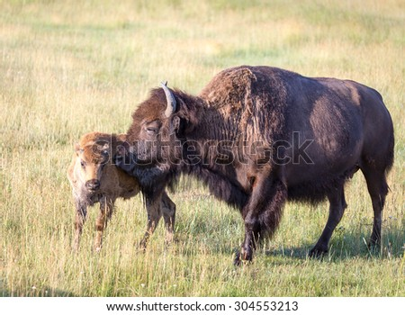 A cow bison nuzzles her baby. - stock photo
