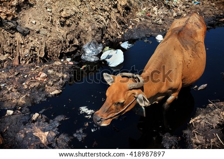 A cow drinks highly contaminated water from a polluted river next to hazardous waste and toxic garbage at the biggest and most polluted landfill site on the holiday resort island of Bali, Indonesia. - stock photo