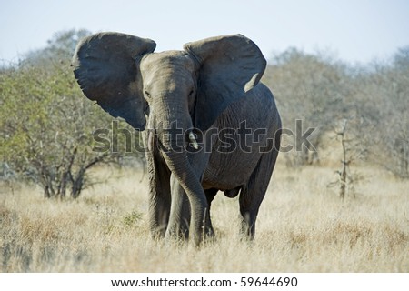 A Cow Elephant can be very temperamental - stock photo