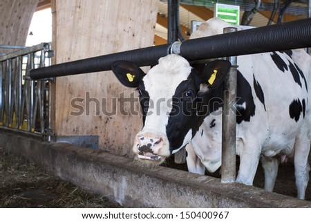 A cow feeding in a modern stable - stock photo
