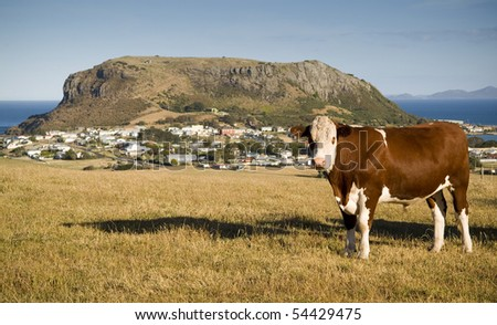 A cow grazes on a hillside of quaint Stanley, with local attraction The Nut looming above. - stock photo