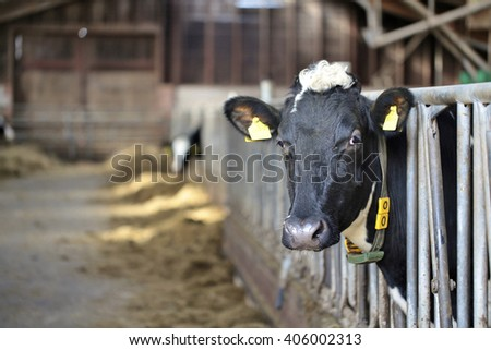 A cow in a barn - stock photo