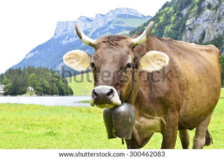 A cow with a bell around his neck - stock photo