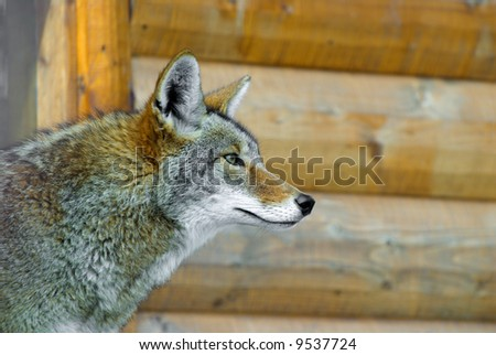 A Coyote next to a Northwoods Cabin - stock photo