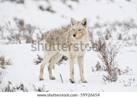 A coyote pauses to reflect in a sagebrush meadow in Yellowstone Park - stock photo