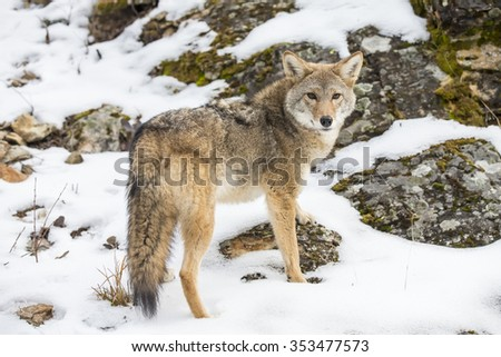 A Coyote searches for a meal in the snowy mountains of Montana. - stock photo