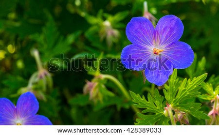 A Cranesbill geranium (perennial), one of the first of the spring display - stock photo