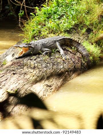 a crocodile in the nature - stock photo