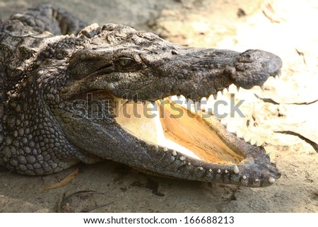a crocodile with open jaws - stock photo