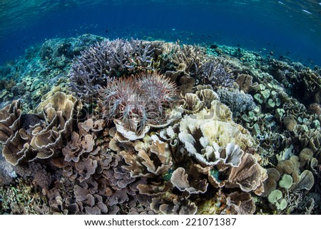 A Crown-of-Thorns seastar (Acanthaster planci) feeds on corals on a reef in Komodo National Park, Indonesia. These seastars are a natural predator of corals in the tropical Pacific region. - stock photo