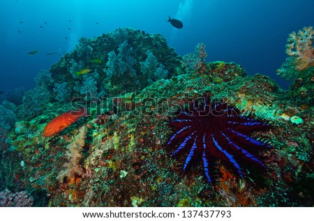 A Crown-of-thorns seastar (Acanthaster planci) feeds on live corals in the Andaman Sea - stock photo