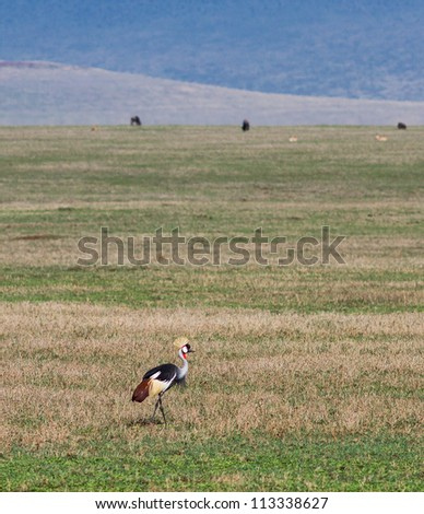 A crowned cranes in Crater Ngorongoro National Park - Tanzania - stock photo