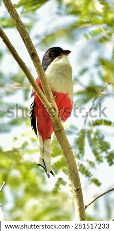A cuban trogon (Priotelus temnurus) on the branch.The Tocororo, the national bird of Cuba. Cuba - stock photo
