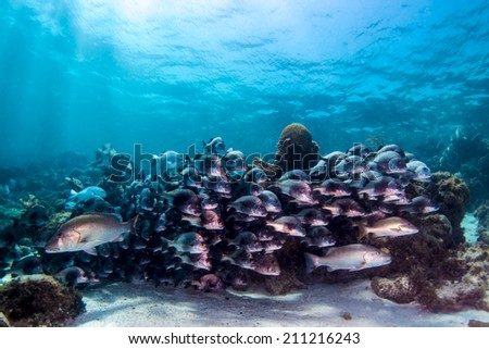 A cubera snapper out of step with the school - stock photo
