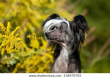 A cuite Chinese Crested Hairless Dog Female in Portrait - stock photo